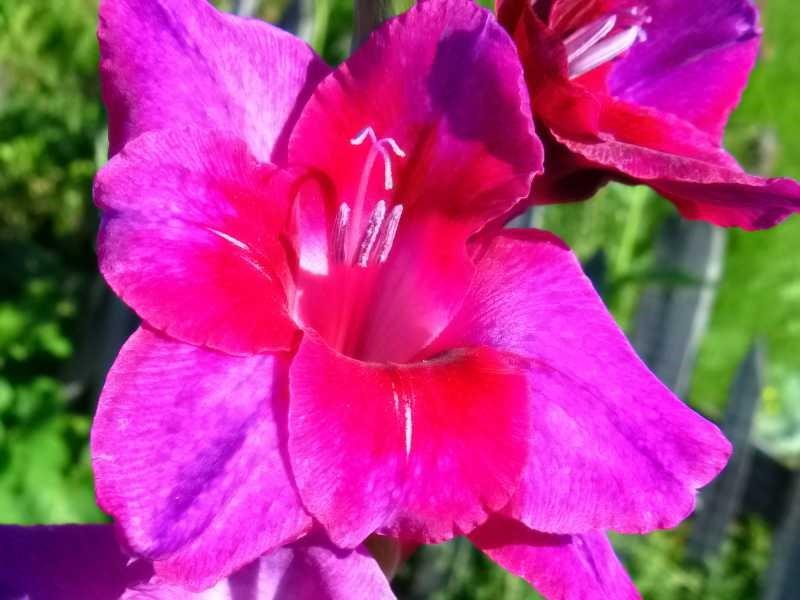 Ранние многолетние садовые цветы
